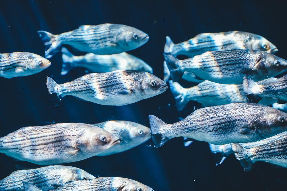 pescado peruano